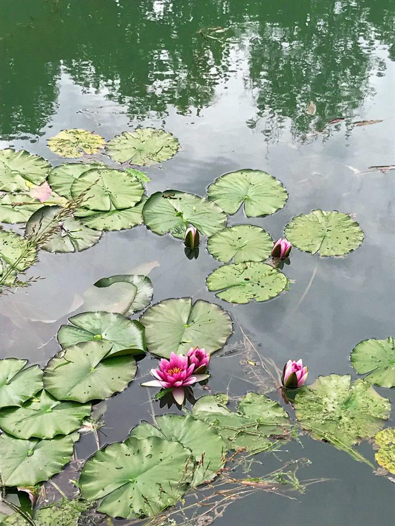 nénuphars dans l'étang des jardins du Logis de Forge en Charente